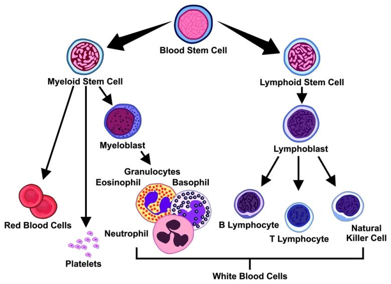 Vector Types of Blood Cells stem myeloid lymphoid lymphoblast ly