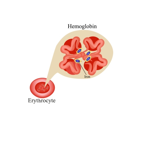 Hemoglobin within red blood cell. Erythrocyte. Hemoglobin.  Info