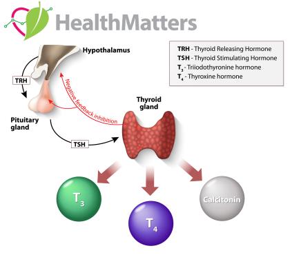 thyroid trh tsh thyroid gland pituitary gland
