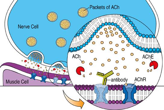 ACh illustration