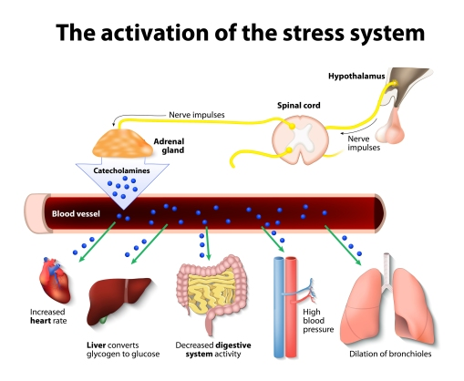 Activation-Of-The-Stress-System adrenaline.jpg