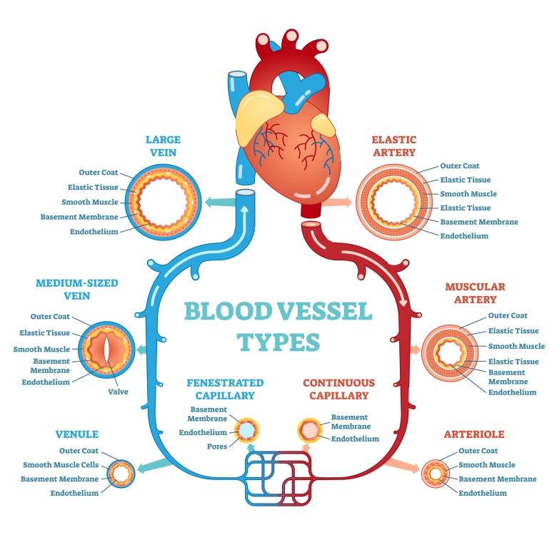 bigstock-Blood-Vessel-Types-Anatomical--229324177.jpg