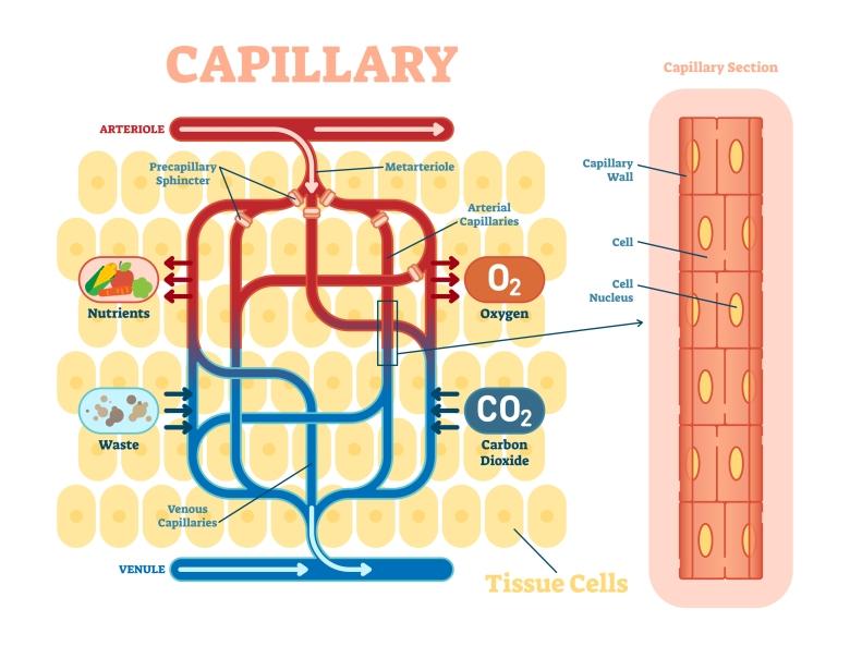 bigstock-Capillary-Schematic-Anatomica-227437273.jpg