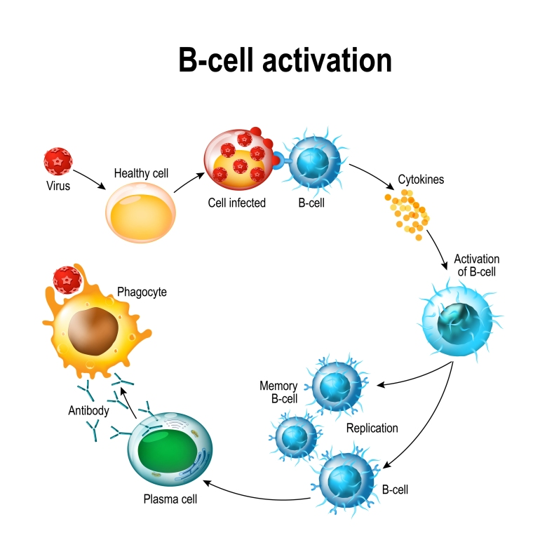 b cell activation interleukin-6 cytokine high low meaning functions
