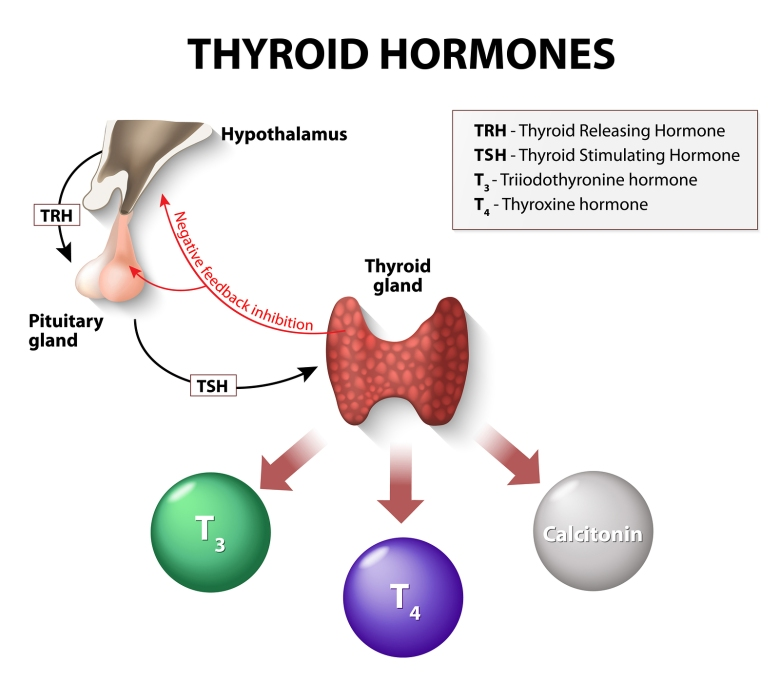 free thyroxine index high low meaning results thyroid t4 t3 free