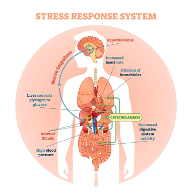catecholamines stress level high low healthmatters