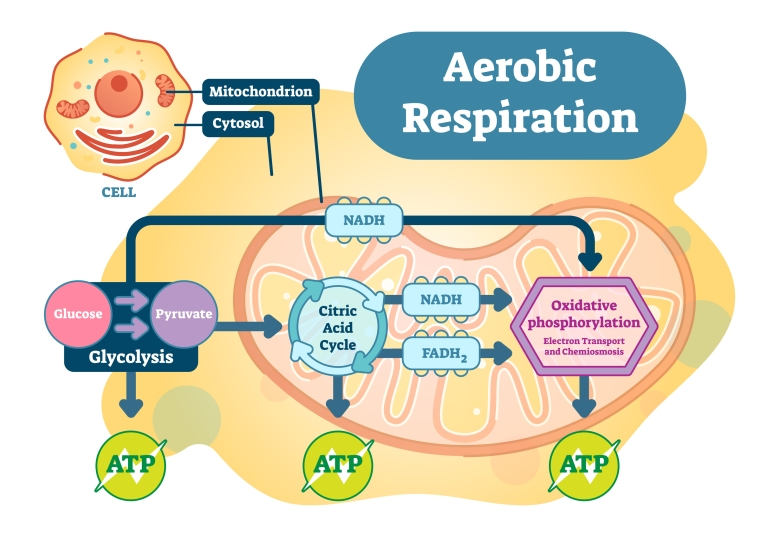 Aerobic Respiration Bio Anatomical Vector Illustration Diagram,