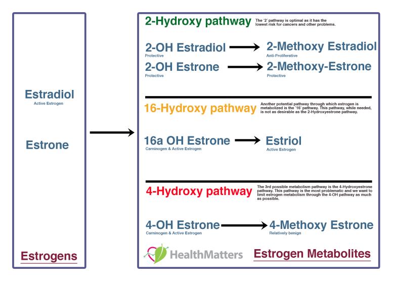 estrogen pathways estradiol estrone