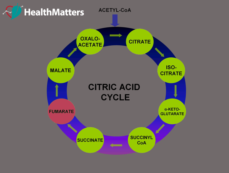 citric acid cycle fumarate high low treatment meaning