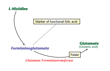 Formiminoglutamate high low meaning folic acid treatment genova healthmatters