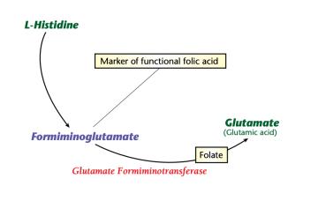 Formiminoglutamate high low meaning folic acid treatment genova healthmatters