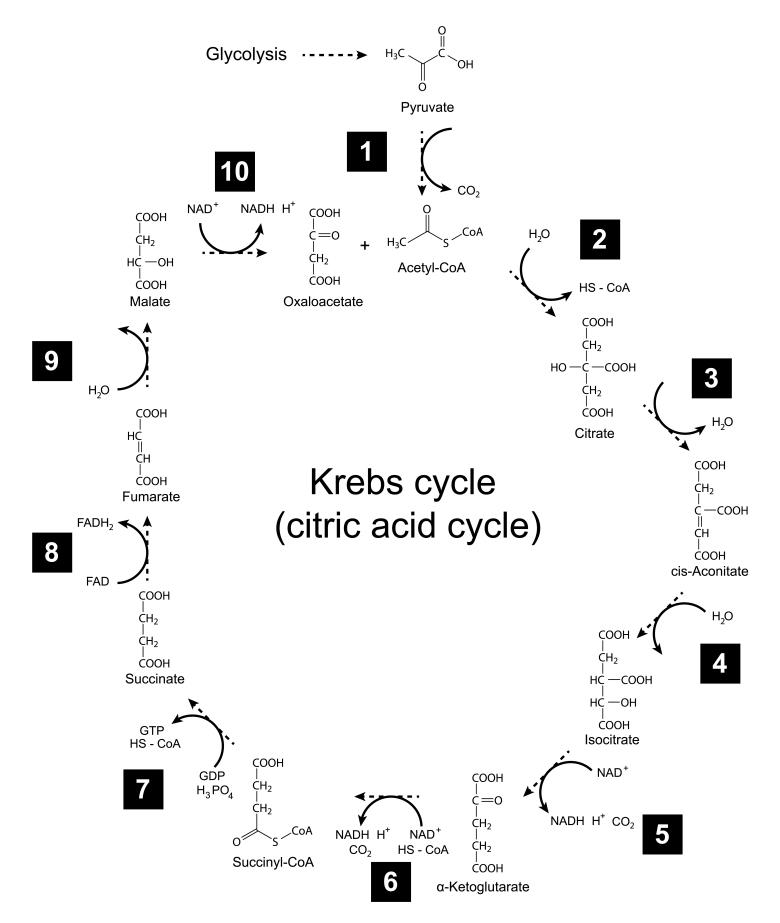 Illustration Of Krebs Cycle - Tricarboxylic Acid (citric) Cycle