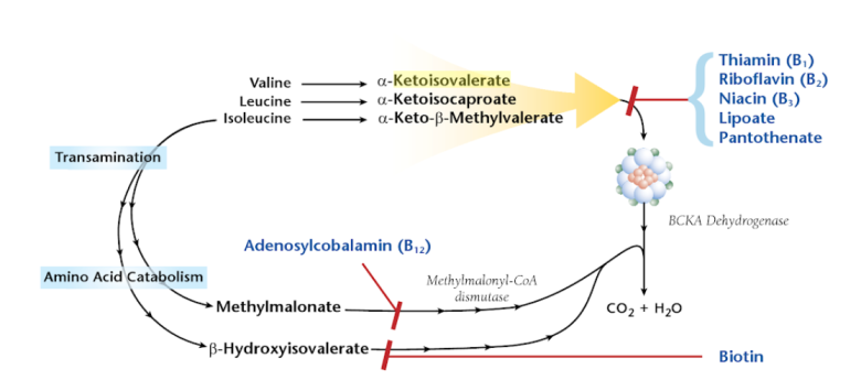 Alpha-Ketoisovalerate acid high low meaning treatment interpretation organic acid