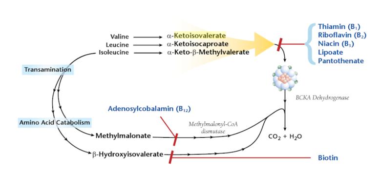 Alpha-Ketoisovalerate acid high low meaning treatment interpretation organic acid